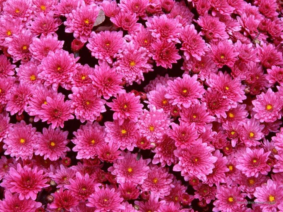Plants, Flowers, Backgrounds, Chrysanthemum