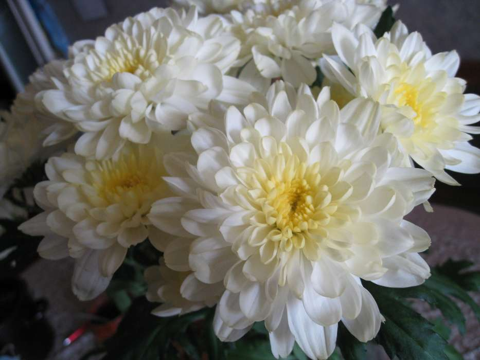 Plants, Flowers, Chrysanthemum