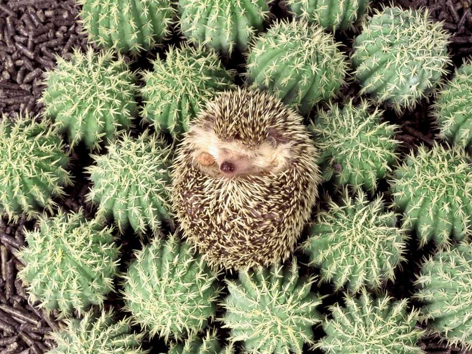 Animals, Hedgehogs, Cactuses