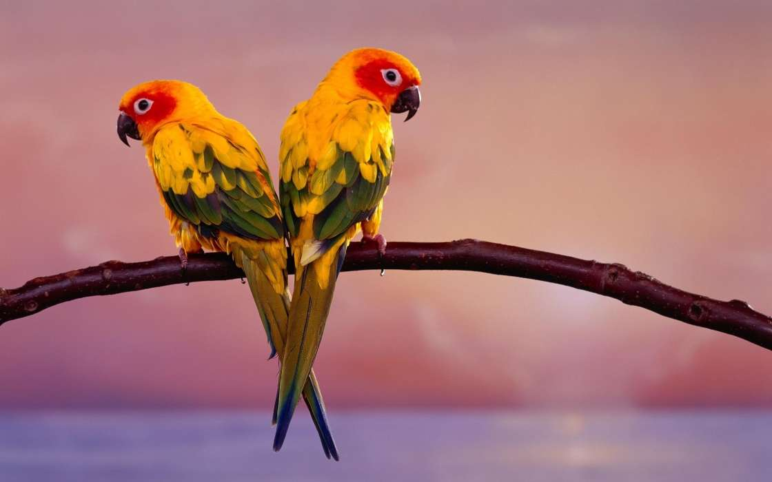 Parrots,Birds,Animals