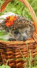Hedgehogs,Animals