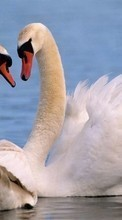 Swans,Birds,Animals