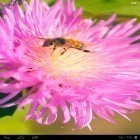 Además de los fondos de pantalla animados para Android Sky islands, descarga la apk gratis de los salvapantallas Bee on a clover flower 3D.